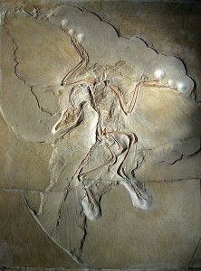 444px-Archaeopteryx_lithographica_(Berlin_specimen)