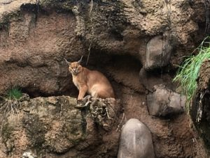 This is a caracal.